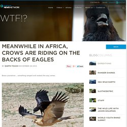 Meanwhile in Africa, crows are riding on the backs of eagles