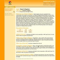 medicinal herbs: VIPER'S BUGLOSS - Echium vulgare