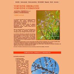 Plante medicinale :la verveine odorante ou verveine citronnée, Aloysia triphylla, lippia citriodora