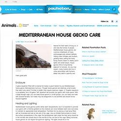 Mediterranean House Gecko Care
