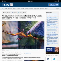 Melbourne Aquarium celebrates birth of 45 weedy sea dragons, 'Marcel Marceau' of the ocean