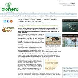 Nació el primer bisonte mexicano silvestre, un siglo después de haberse extinguido — bionero.org