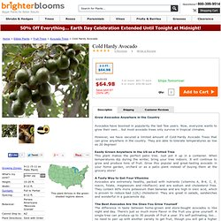 Cold Hardy Avocado Trees for Sale - Brighter Blooms Nursery