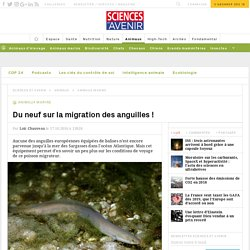 La migration de l'anguille européenne dans la mer des Sargasses est mieux connue