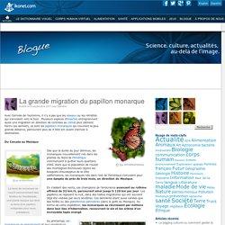 La grande migration du papillon monarque - Blogue Ikonet