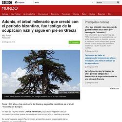 Adonis, el árbol milenario que creció con el período bizantino, fue testigo de la ocupación nazi y sigue en pie en Grecia - BBC Mundo