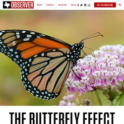 Native Milkweed Can Save Monarchs—If You Know How to Grow it - The Texas Observer
