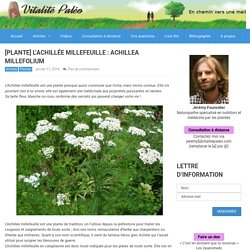 [Plante] L'Achillée millefeuille : Achillea millefolium