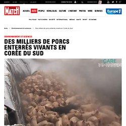 Fievre aphteuse, des millions animaux enterrés en corée du Corée du Sud