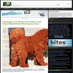 That Doggie in the Window is $1.5 Million: Red Tibetan Mastiff
