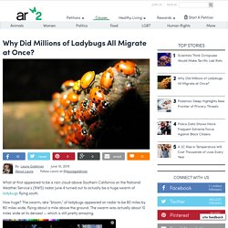 Why Did Millions Of Ladybugs All Migrate At Once?
