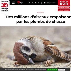 30 MILLIONS D AMIS 25/02/20 Des millions d'oiseaux empoisonnés par les plombs de chasse