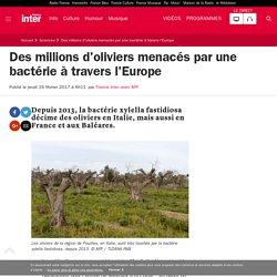 AFP 16/02/17 Des millions d'oliviers menacés par une bactérie à travers l'Europe