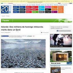 Islande: Des millions de harengs retrouvés morts dans un fjord