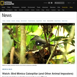 Watch: Bird Mimics Caterpillar (and Other Animal Imposters)