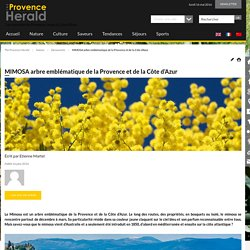 mimosa provence cote azur - the provence herald