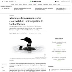 Minnesota loons closely watched as they head to Gulf of Mexico - StarTribune.com