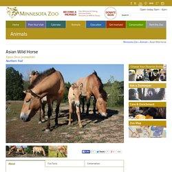 Asian Wild Horse - Minnesota Zoo