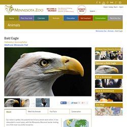 Minnesota Zoo Bald Eagle - Minnesota Zoo