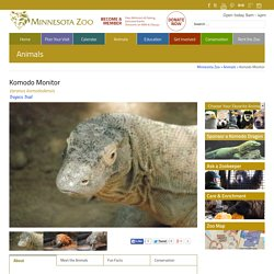 Komodo Monitor - Minnesota Zoo