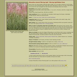 Miscanthus sinensis 'Morning Light' - Morning Light Maiden Grass