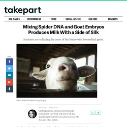 Mixing Spider DNA and Goat Embryos Produces Milk With a ...
