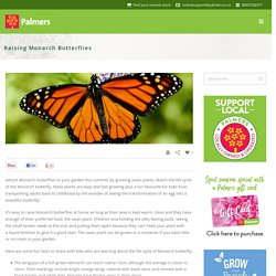 Monarch Butterflies - Palmers Garden Centre