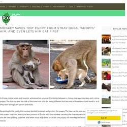 """Monkey Saves Tiny Puppy From Stray Dogs, """"Adopts"""" Him, And Even Lets Him Eat First"""