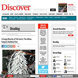 A Creepy Monster of the Forest: The Albino, Vampiric Redwood Tree | Discoblog