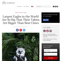 Monster Bird Is One Of The World's Largest Eagles