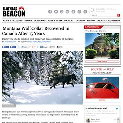 Montana Wolf Collar Recovered in Canada After 15 Years - Flathead Beacon