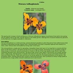 Moraea tulbaghensis