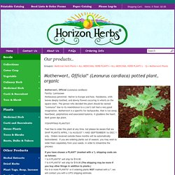 Motherwort, Official* (Leonurus cardiaca) potted plant, organic