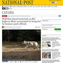Wolf that chased motorcyle on B.C. highway likely 'accustomed' to being fed by humans: park officials