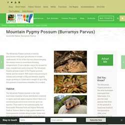Mountain Pygmy Possum Habitat, Diet & Reproduction