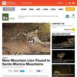 New Mountain Lion Found in Santa Monica Mountains
