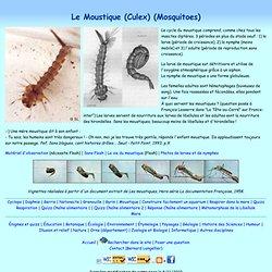 Moustique (Culex) : larve et nymphe