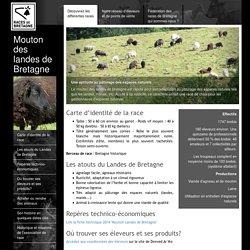 Mouton des landes de Bretagne