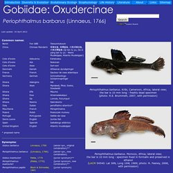 The mudskipper - Periophthalmus barbarus
