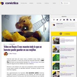 Video en Rayos X nos muestra todo lo que un hamster puede guardar en sus mejillas