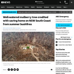 Well-watered mulberry tree credited with saving home on NSW South Coast from summer bushfires - ABC News