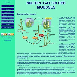 Multiplication des mousses