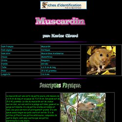 Muscardin