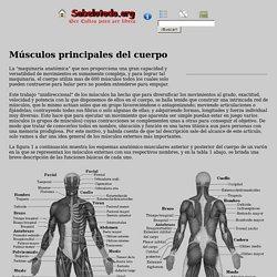 Músculos principales del cuerpo humano
