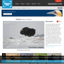 Arkive: Musk oxen (Muskox) - Ovibos moschatus