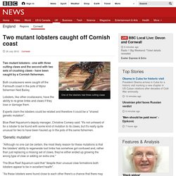 Two mutant lobsters caught off Cornish coast