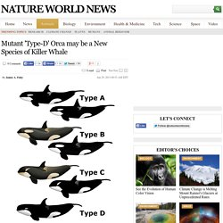 Mutant 'Type-D' Orca may be a New Species of Killer Whale