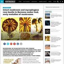 Intact mushroom and mycophagous rove beetle in Burmese amber leak early evolution of mushrooms – HeritageDaily