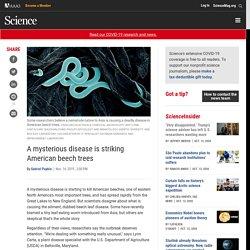 SCIENCEMAG 14/11/19 A mysterious disease is striking American beech trees