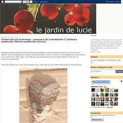 naissance de la Pudibonde !( Calliteara pudibunda, Elkneria pudibunda (Linné))